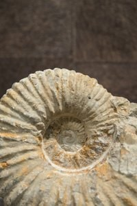 Minéral Ammonite du Type Albien